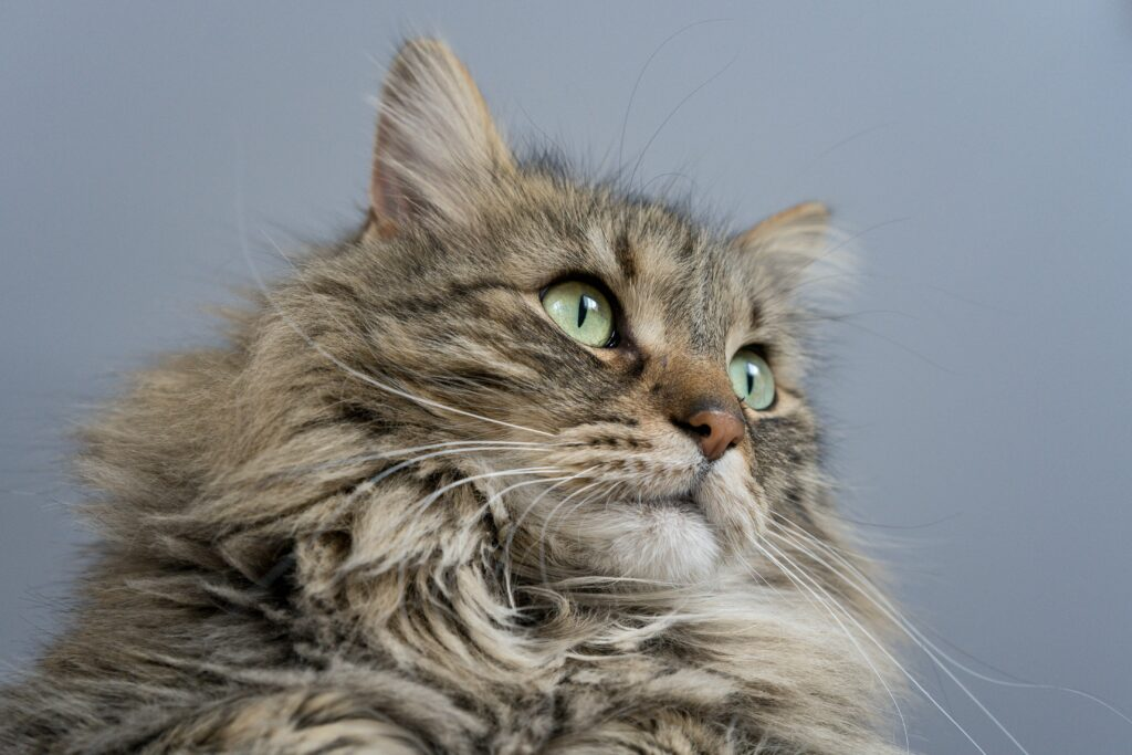 maine coon cat cool