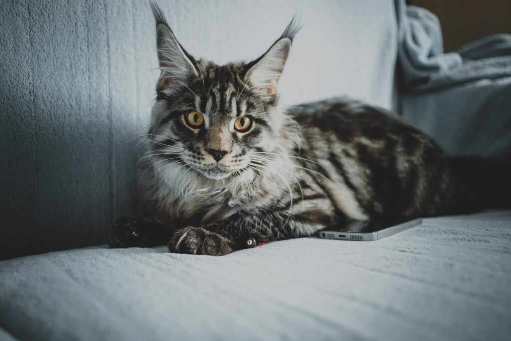 maine coon cat laying 1