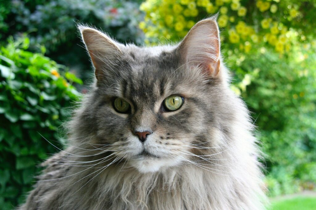 maine coon cat outside