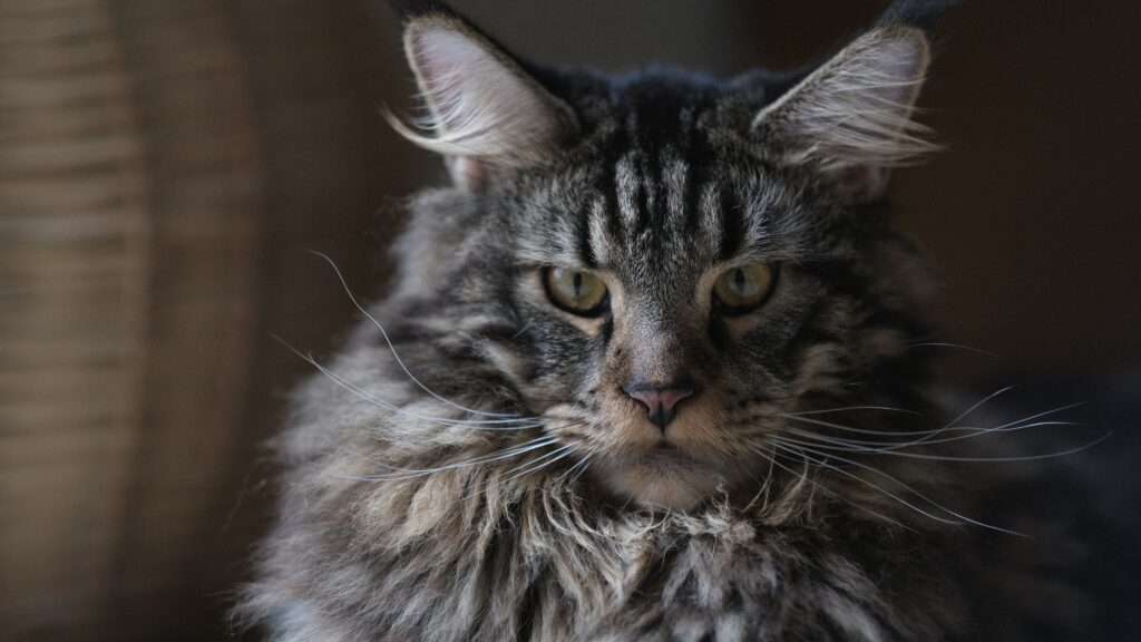maine coon cat temperament 1