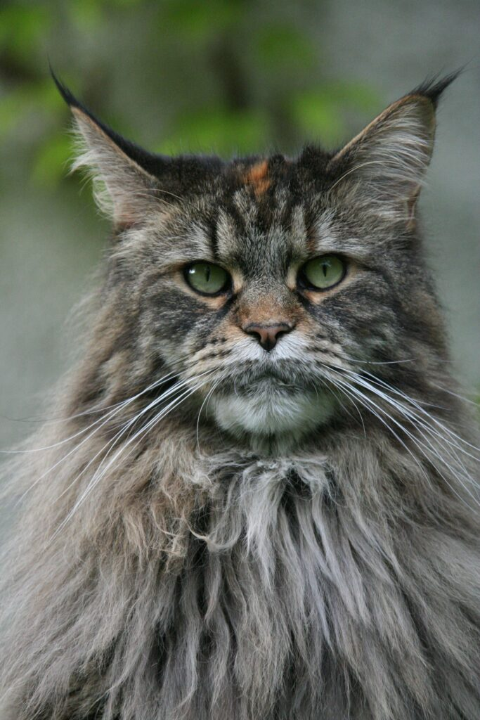 silver maine coon 1