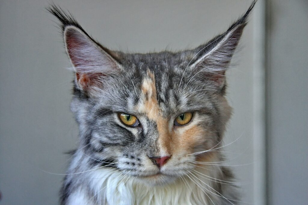 silver maine coon cat 1