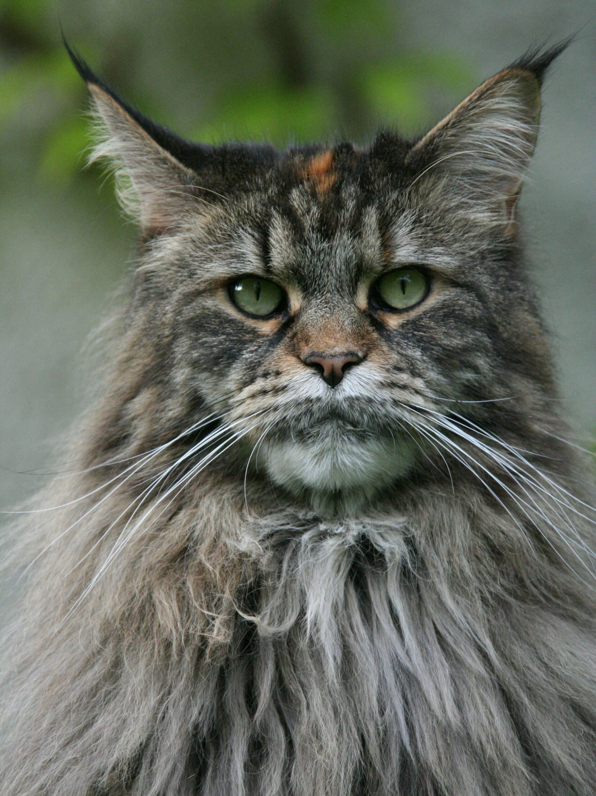 silver maine coon edited scaled