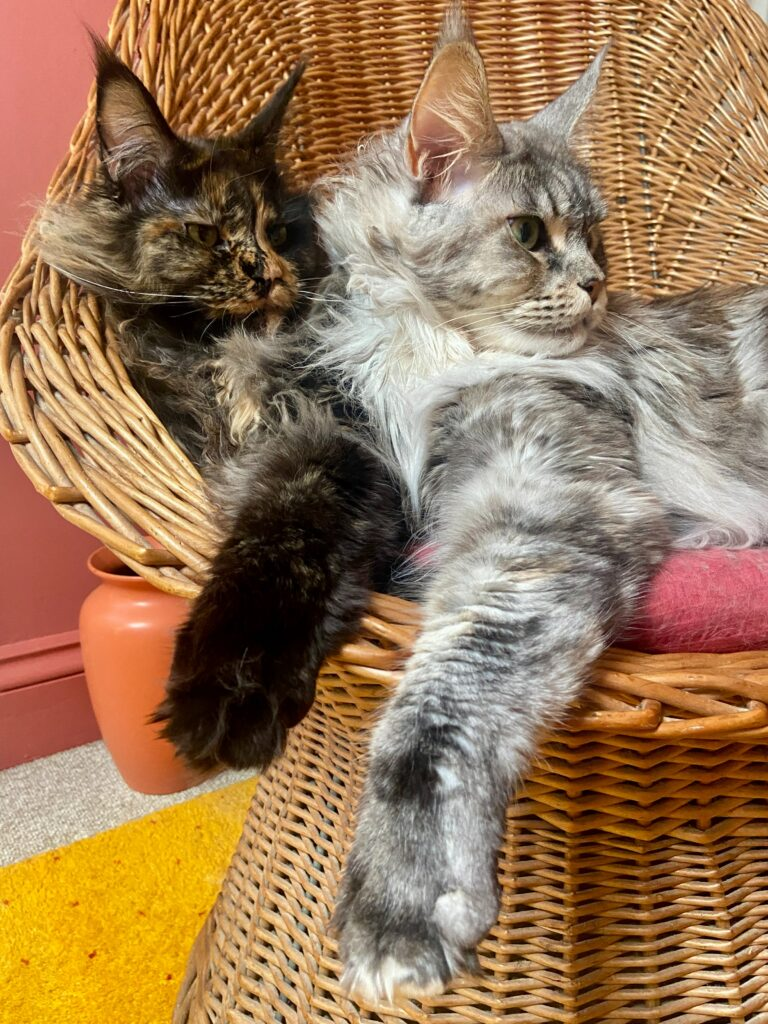 two maine coon cats 1