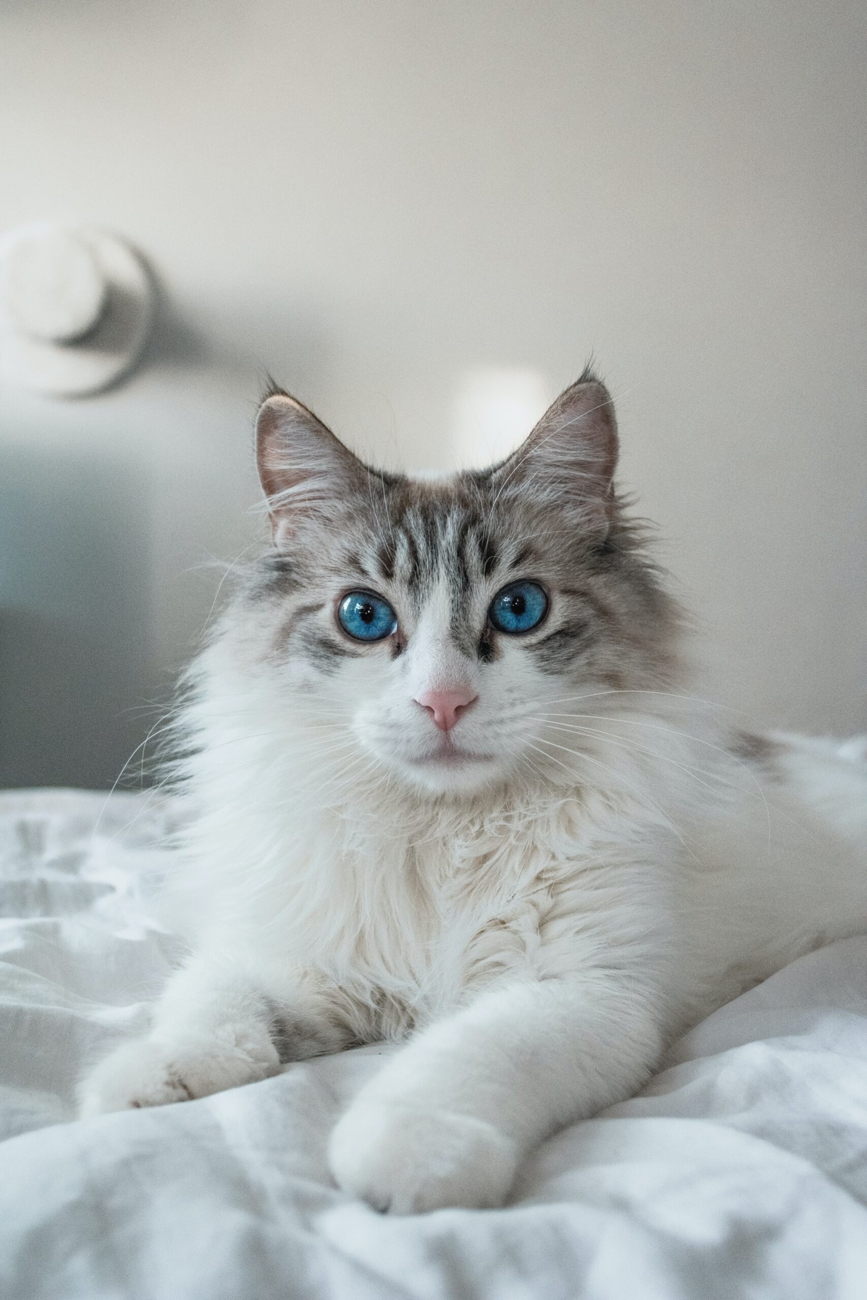 beautiful ragdoll cats 1 scaled