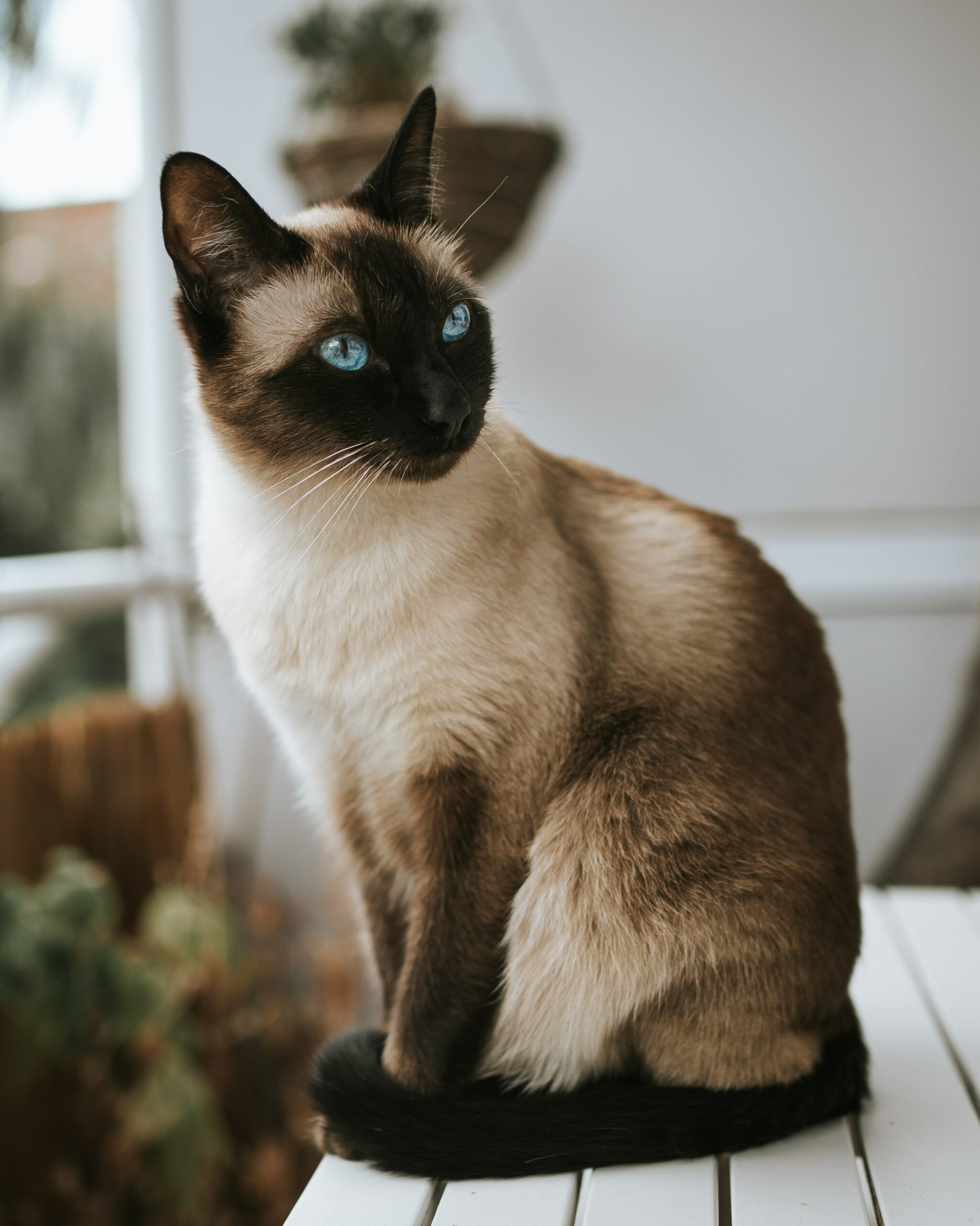 beautiful siamese cat scaled