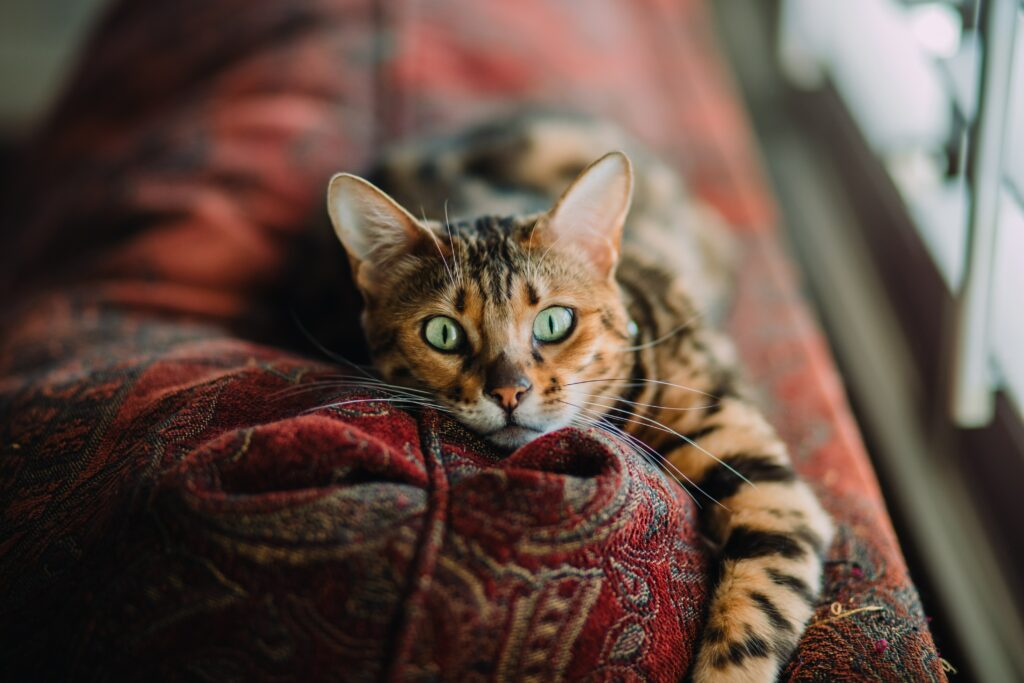 bengal cats images