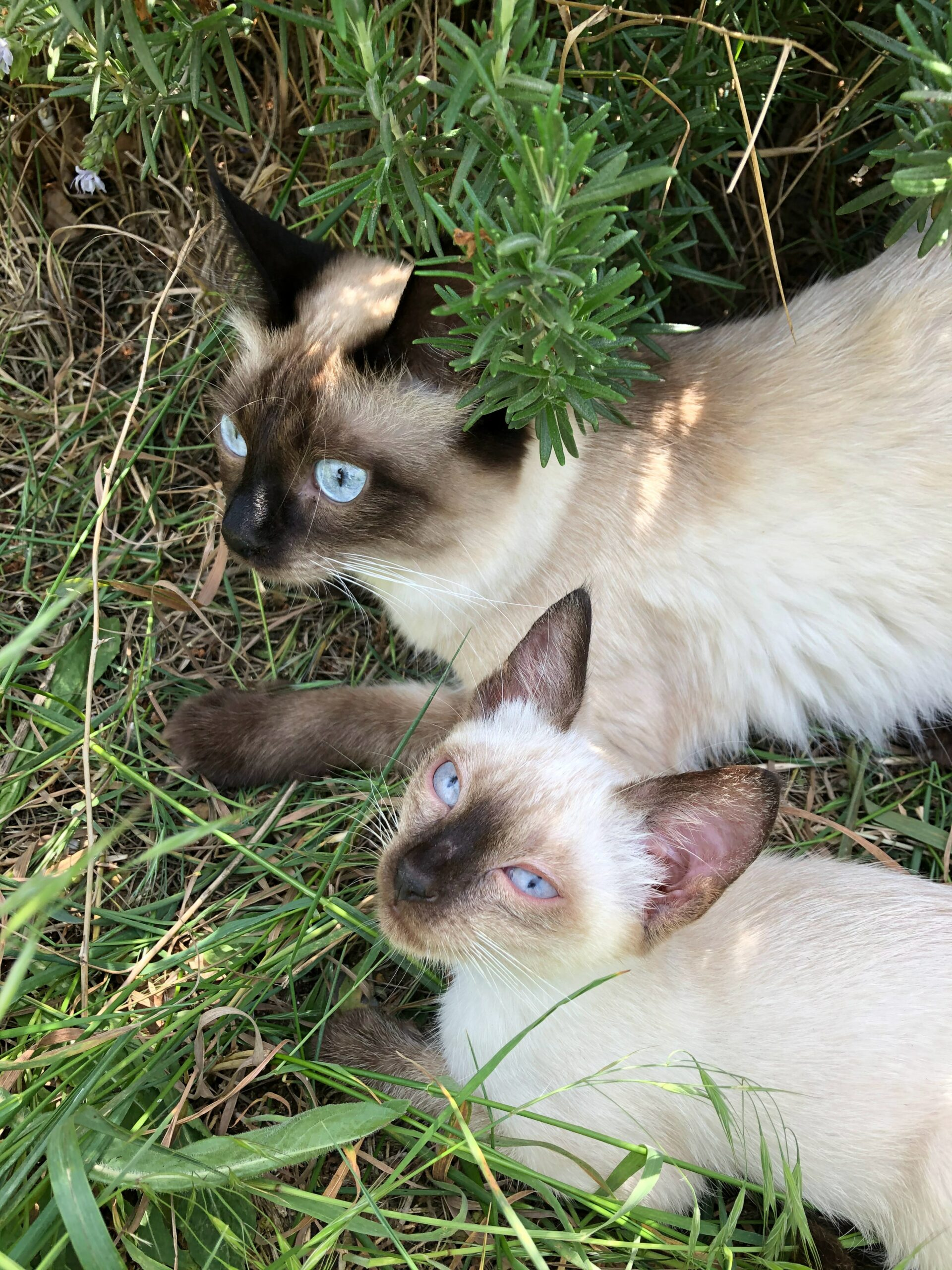 couple of siamese cats scaled