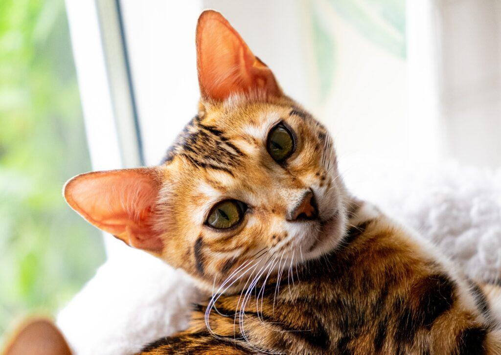 incredible bengal cats