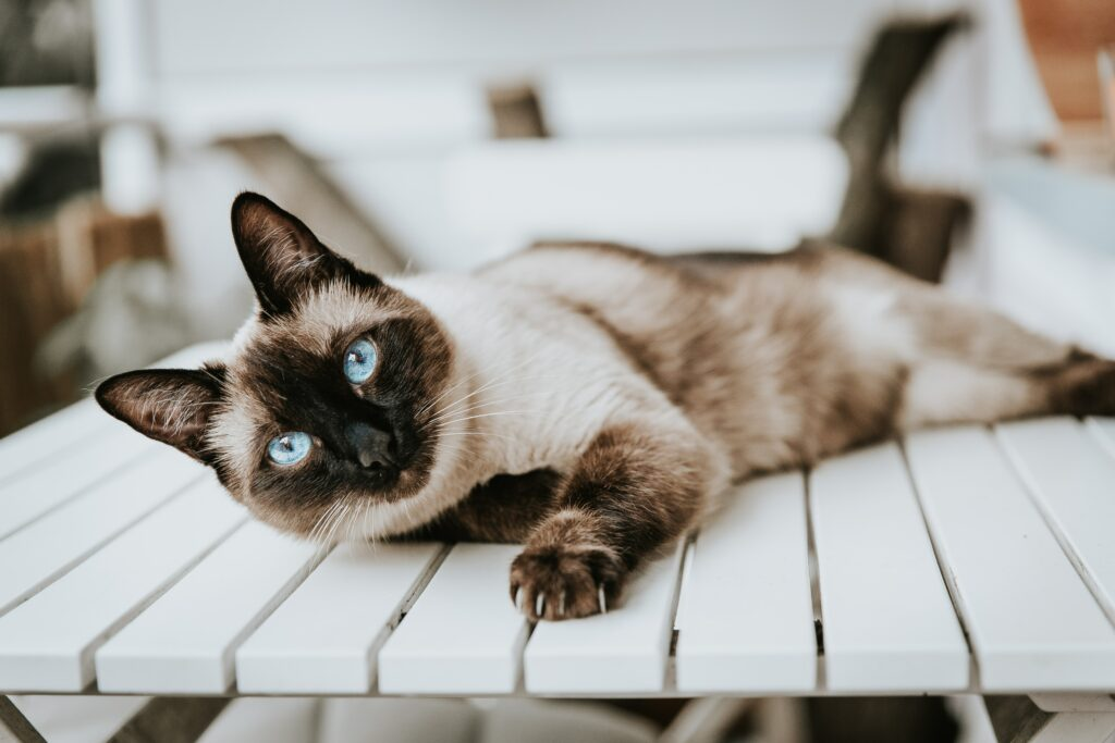 laying down siamese cat