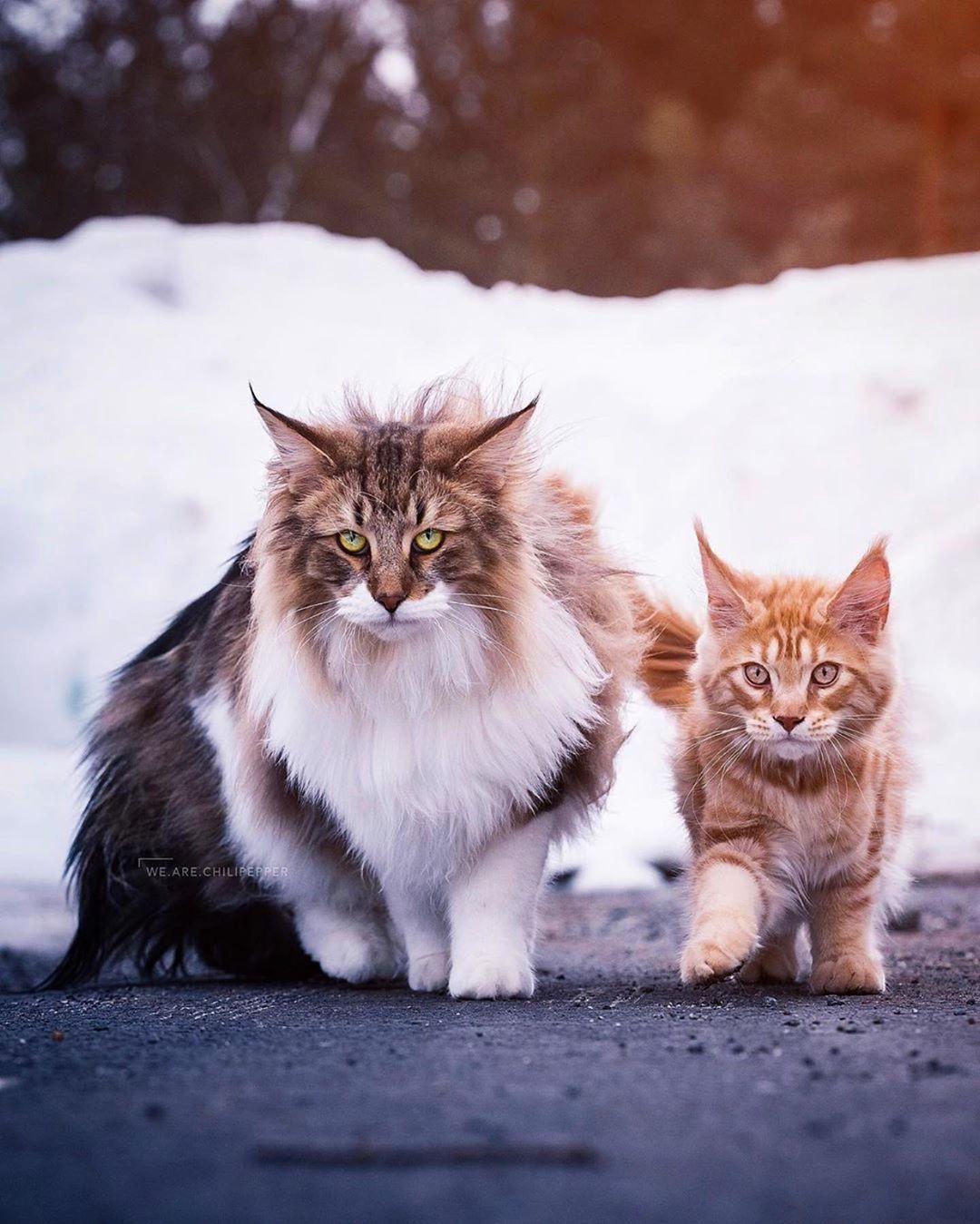 norwegian forest cat and kitten