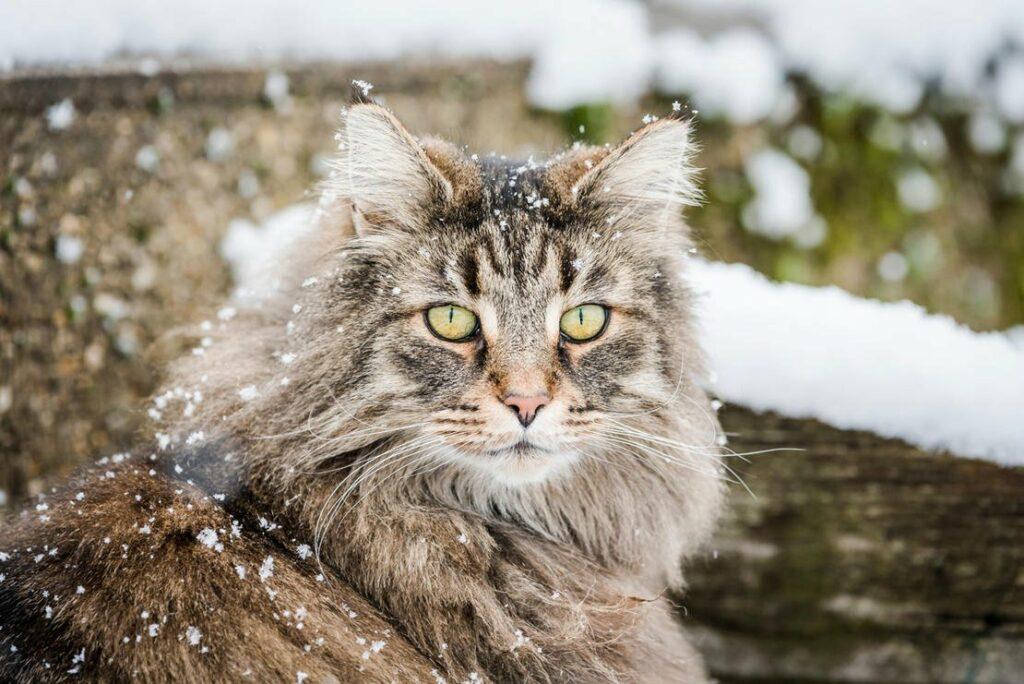 norwegian forest cat 01352