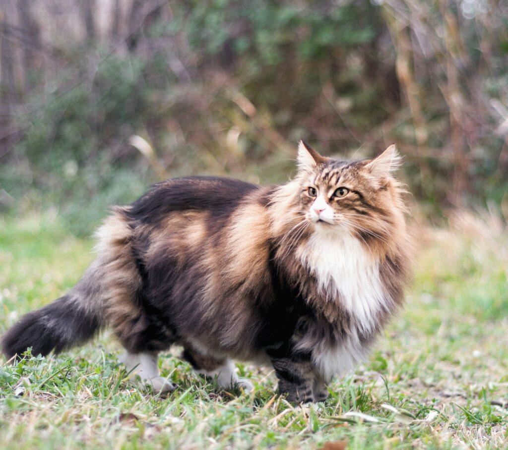 norwegian forest cat size 2
