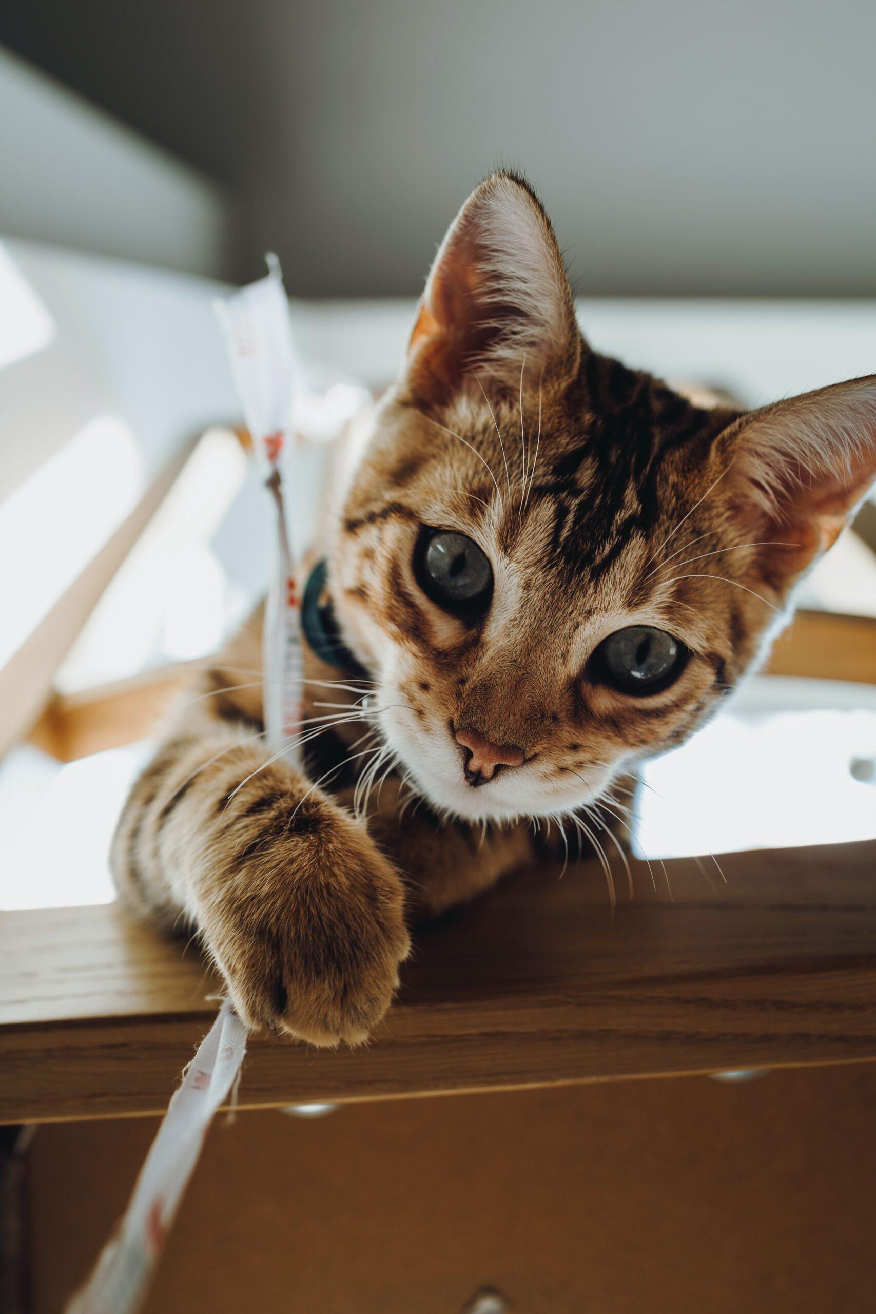 playful bengal kitten scaled