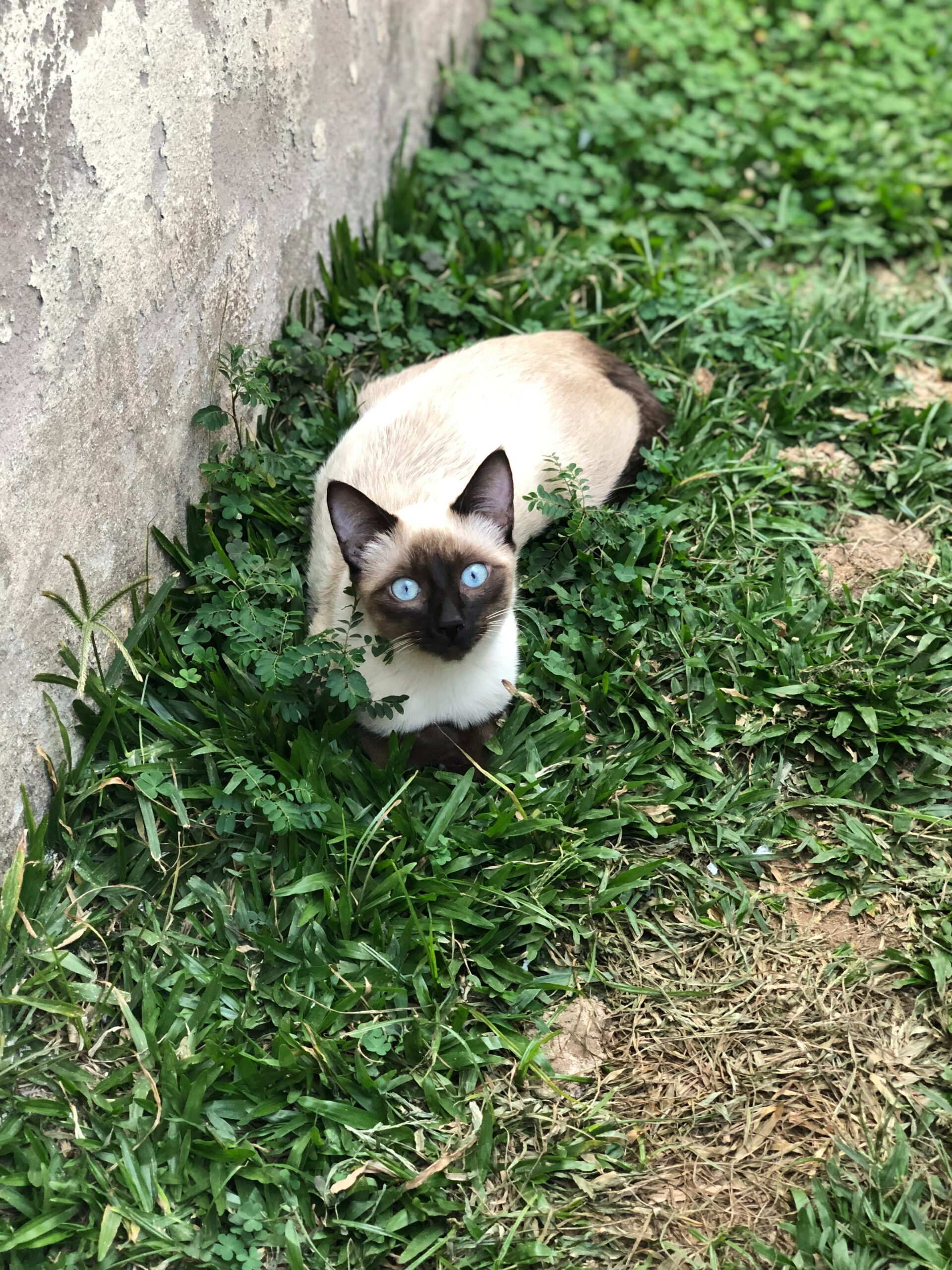 playful siamese cat scaled