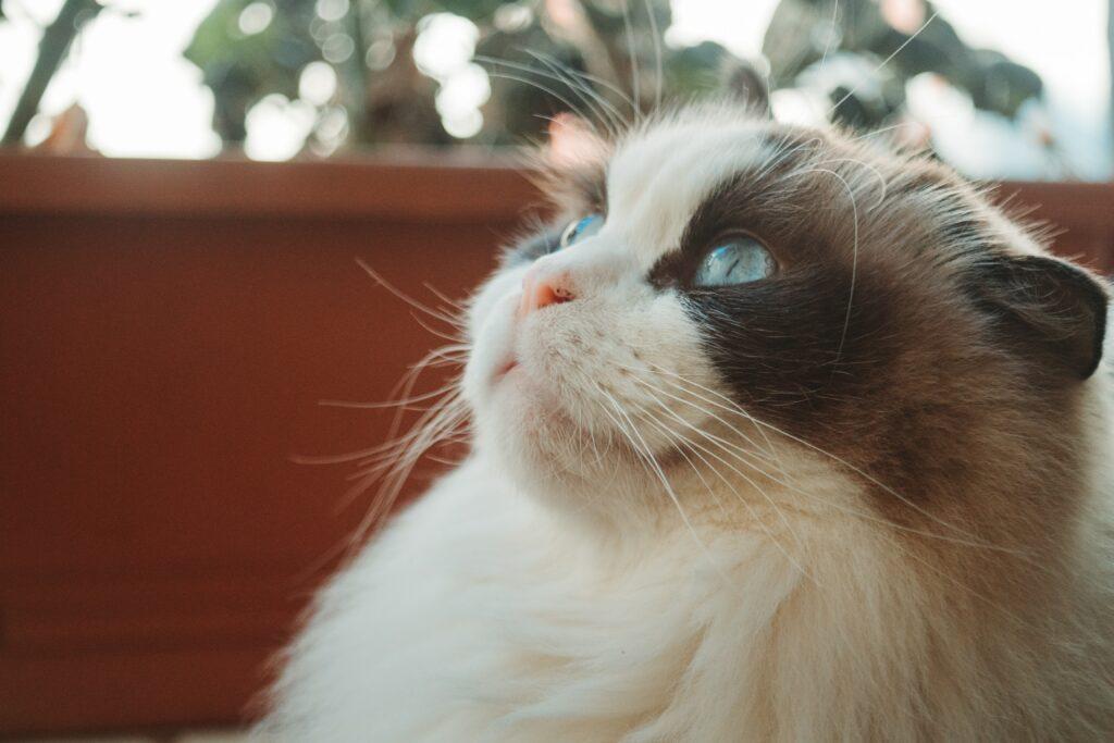 ragdoll cat colours