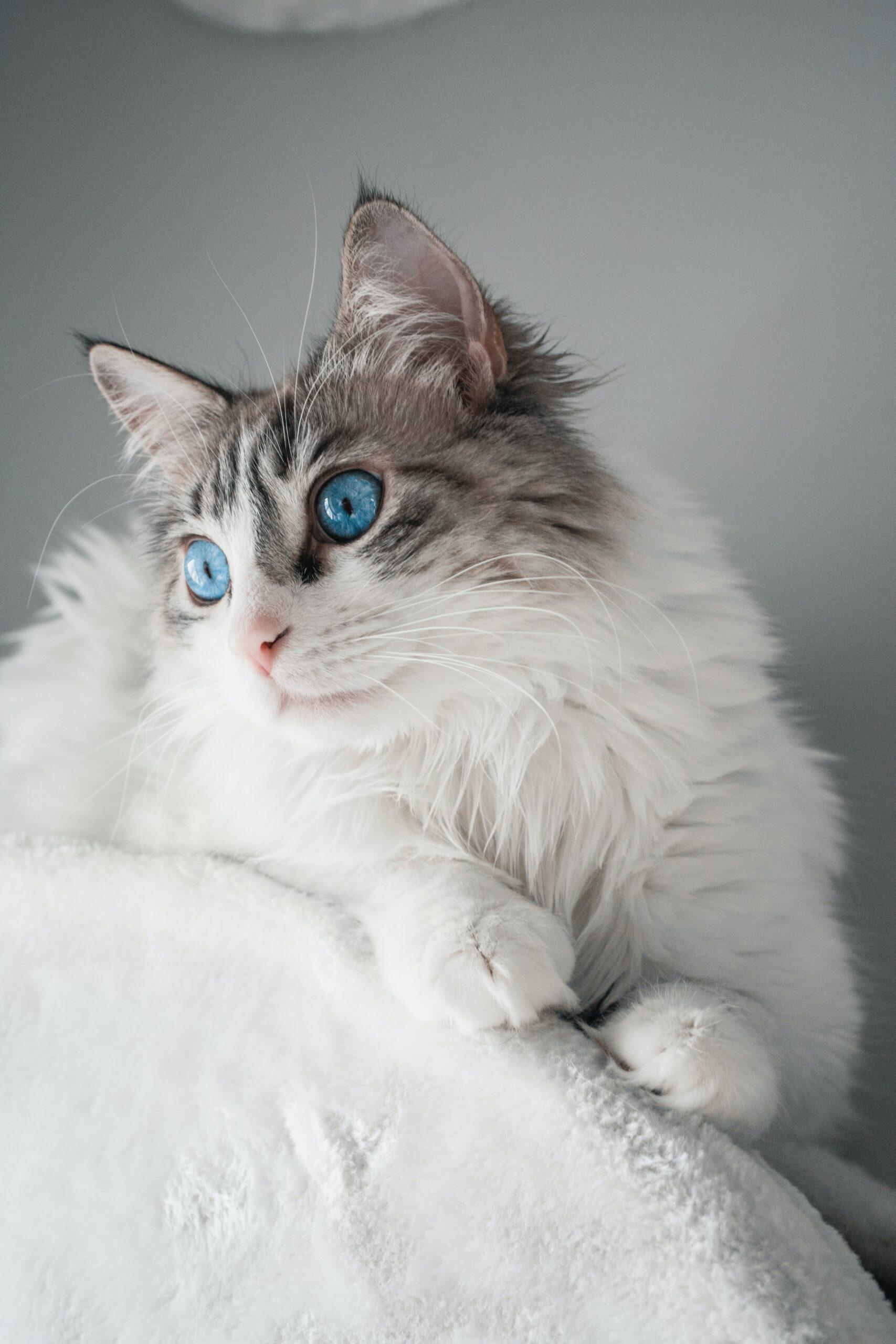 strunning ragdoll cat 3 scaled