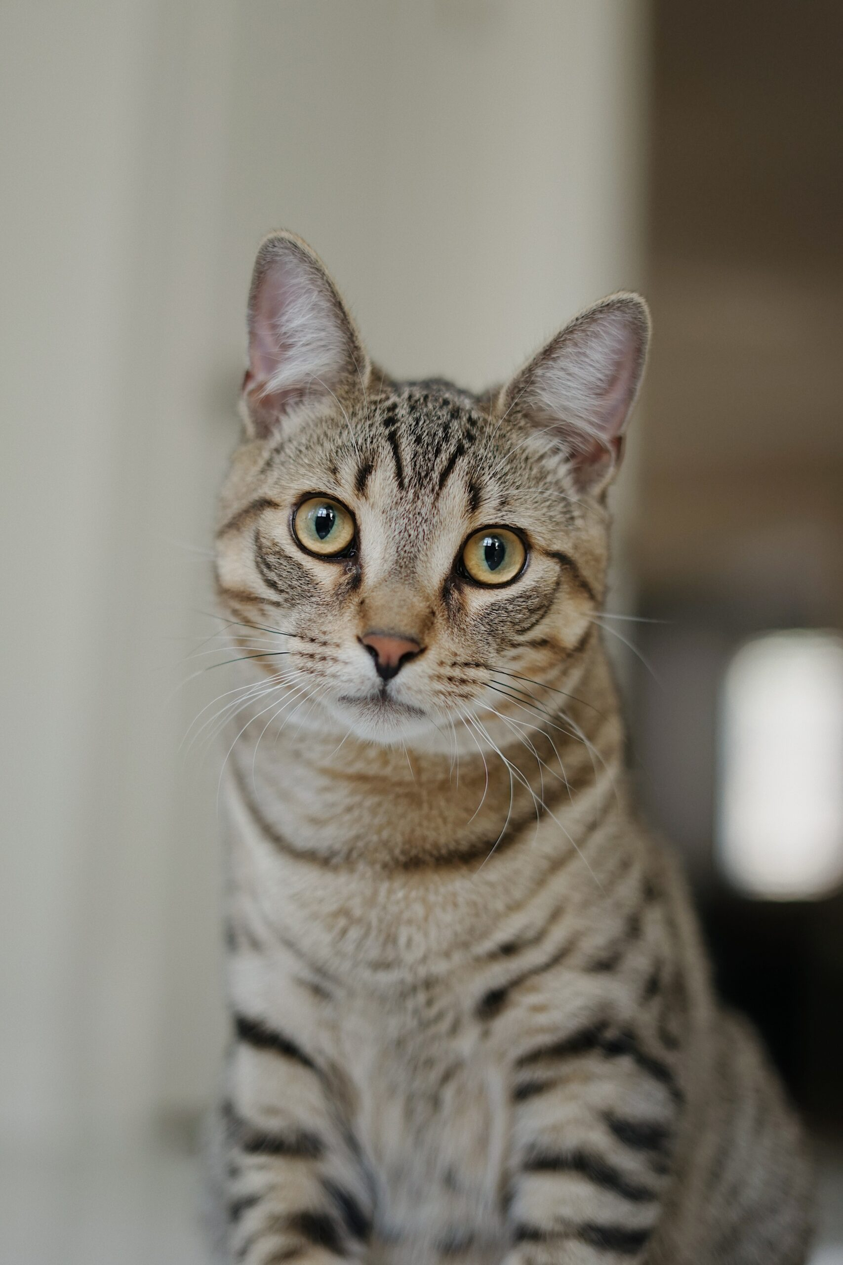 stunning bengal cat scaled