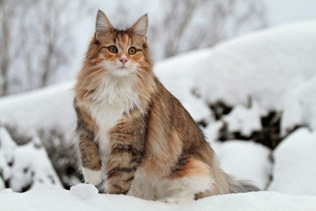 stunning norwegian forest cats