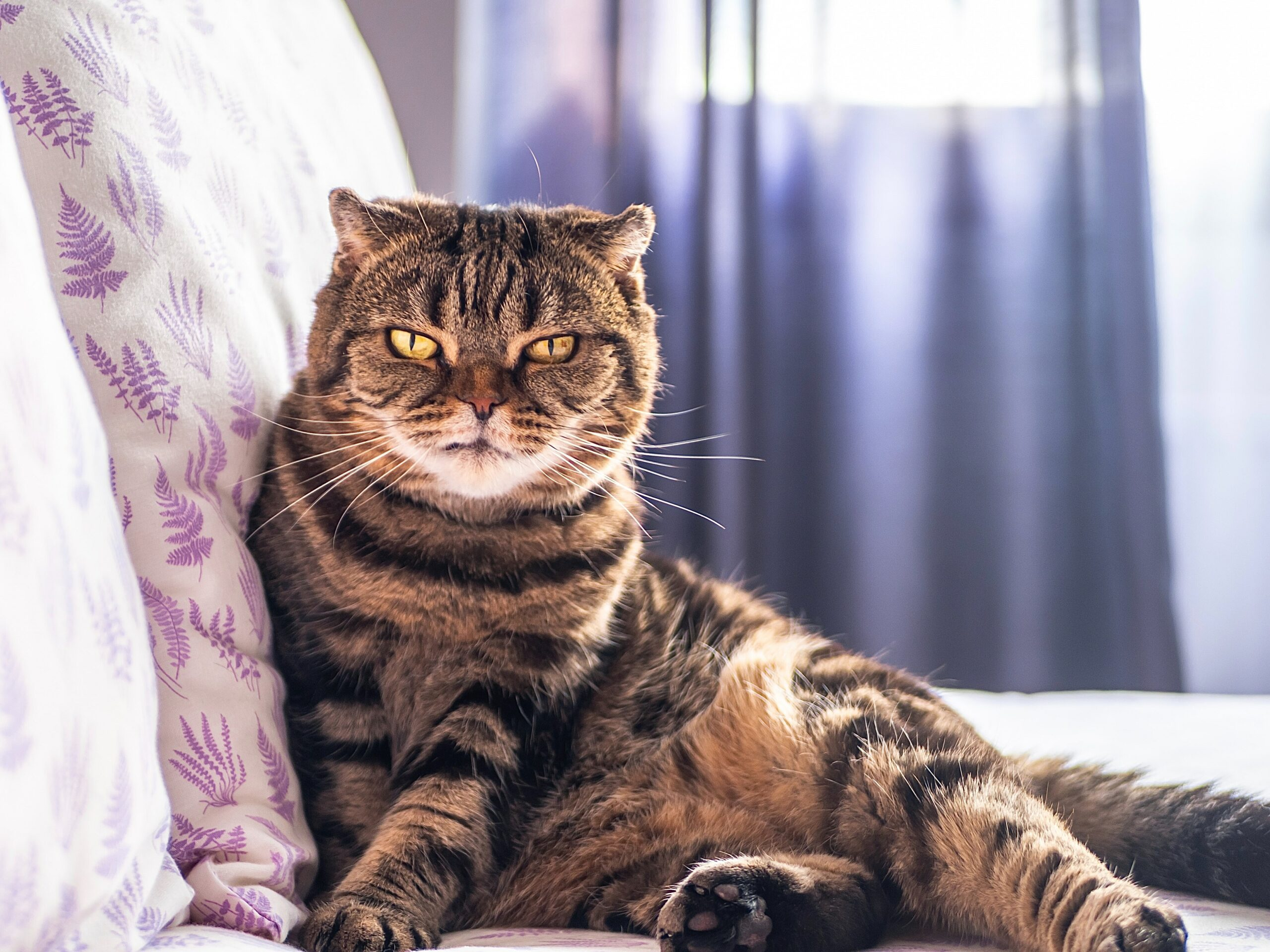 Scottish Fold Cat scaled