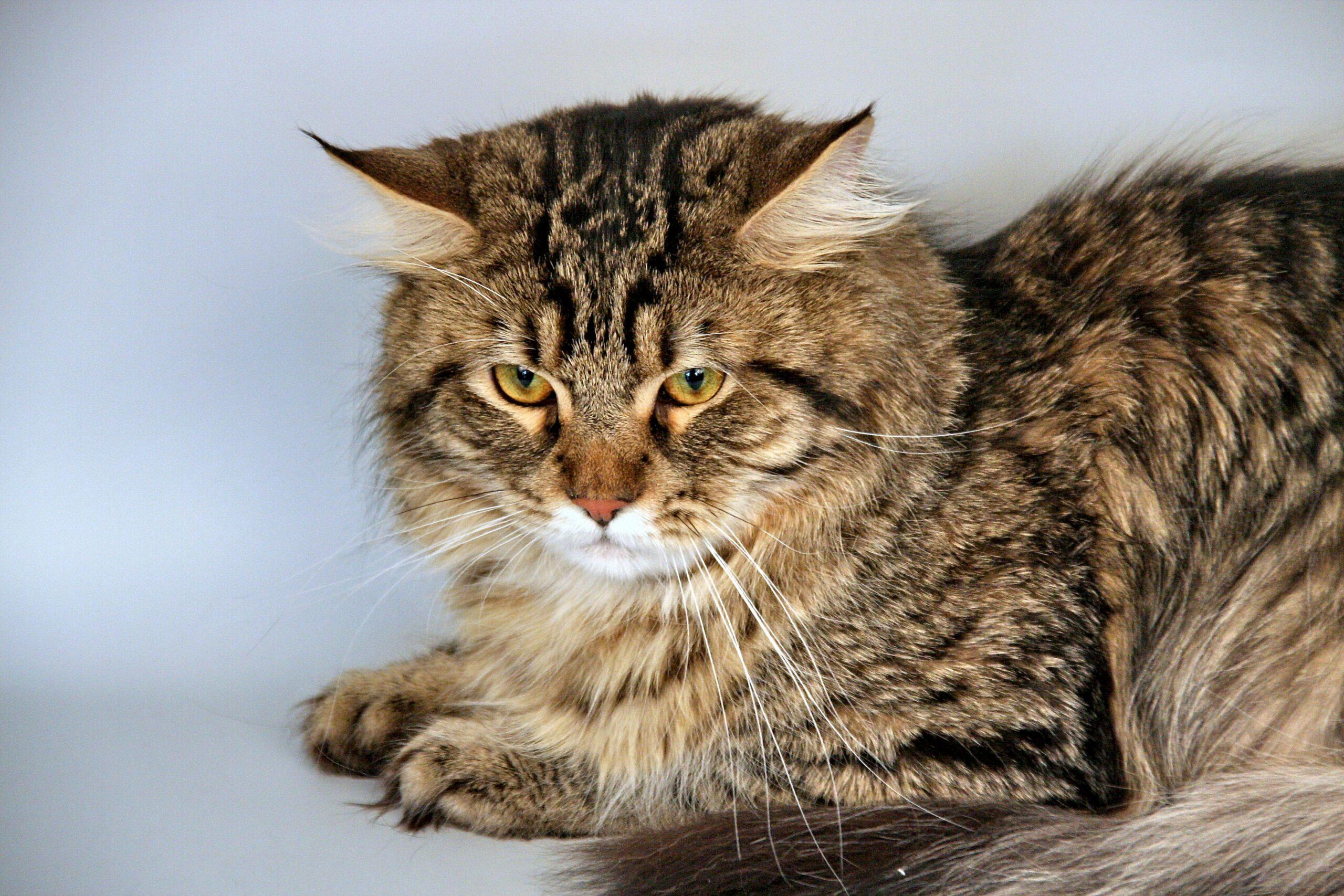 Siberian Cat scaled