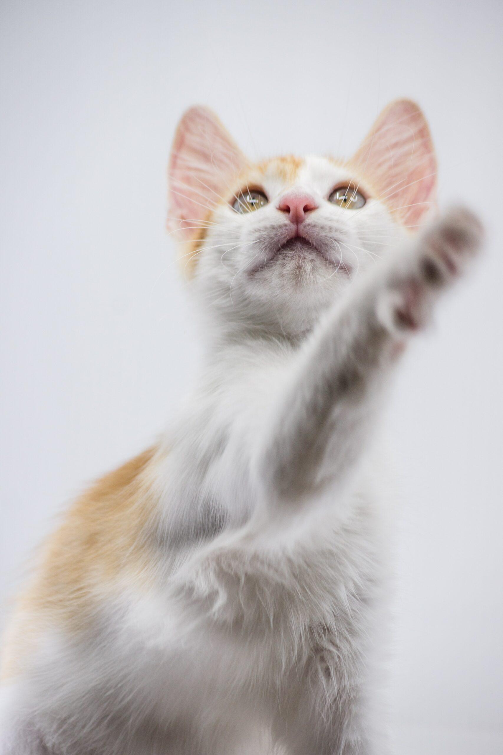 Turkish Angora Cat cute scaled