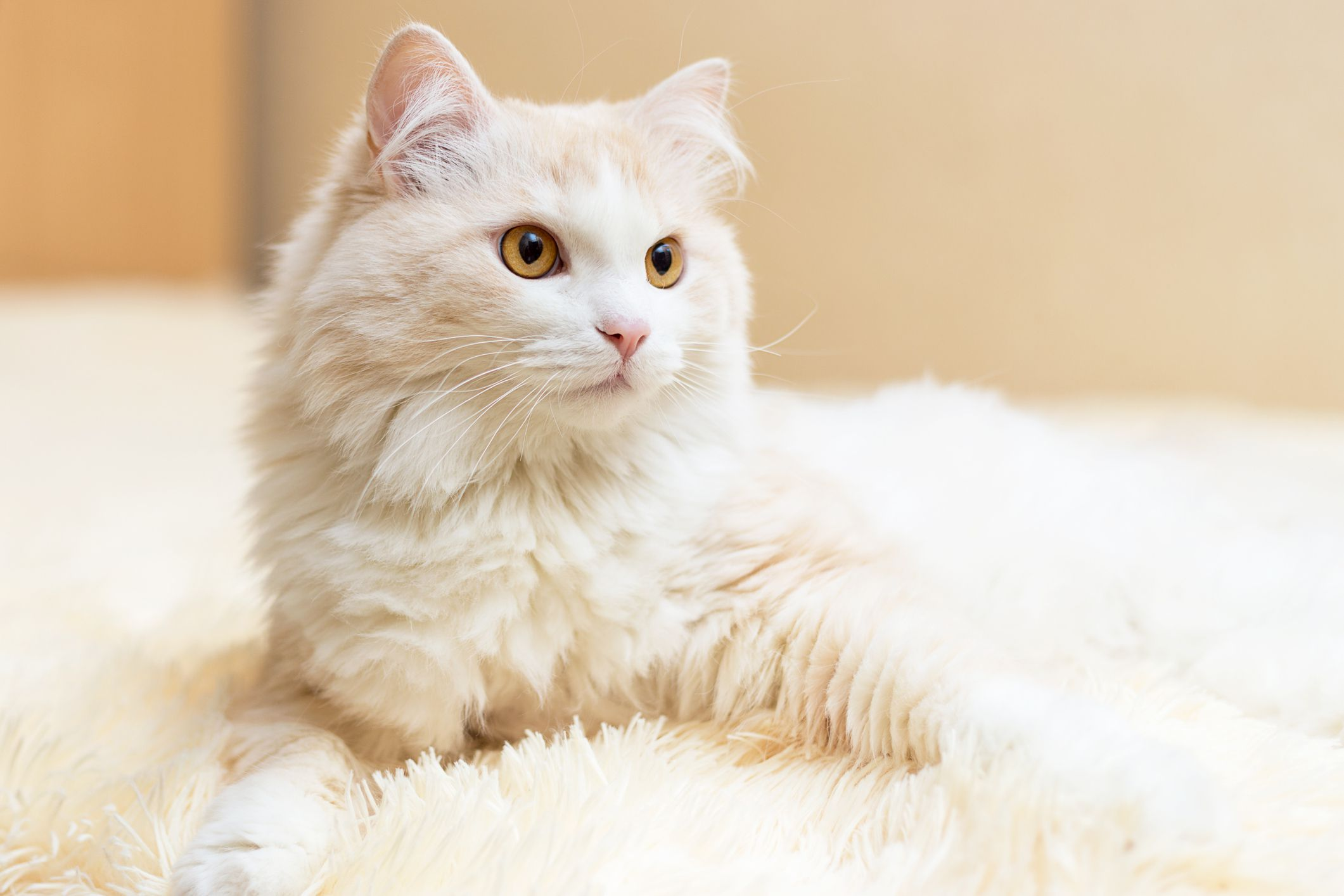 Turkish Angora Cats feature