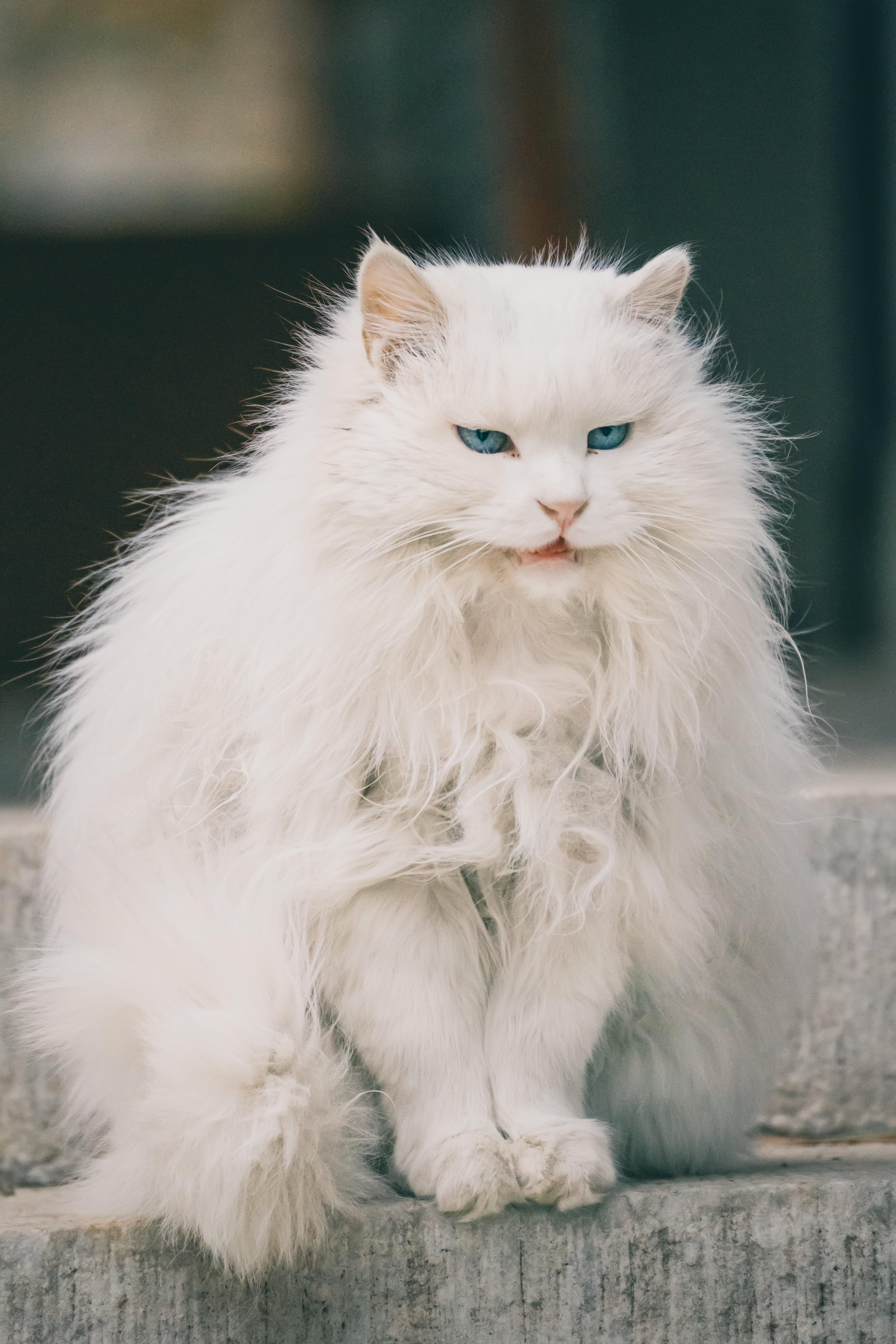Turkish Angora Cats personality