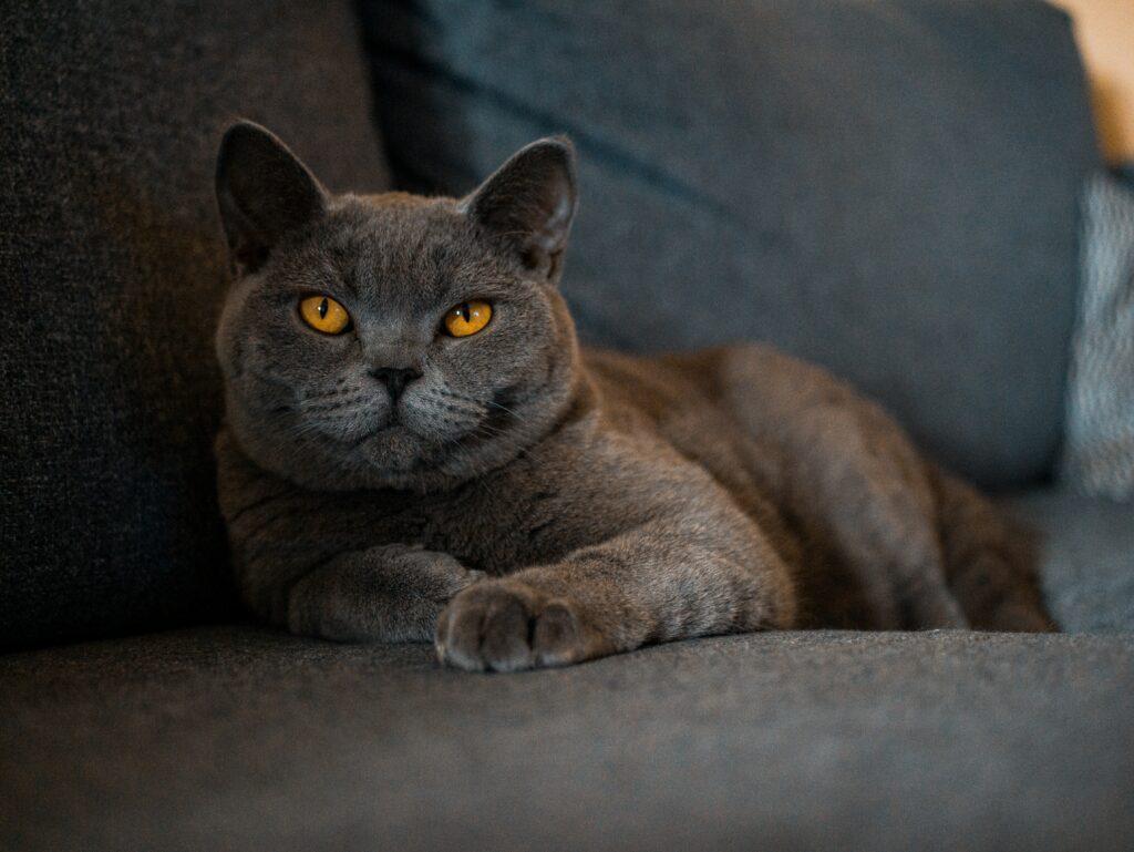 british shorthair cat age 1
