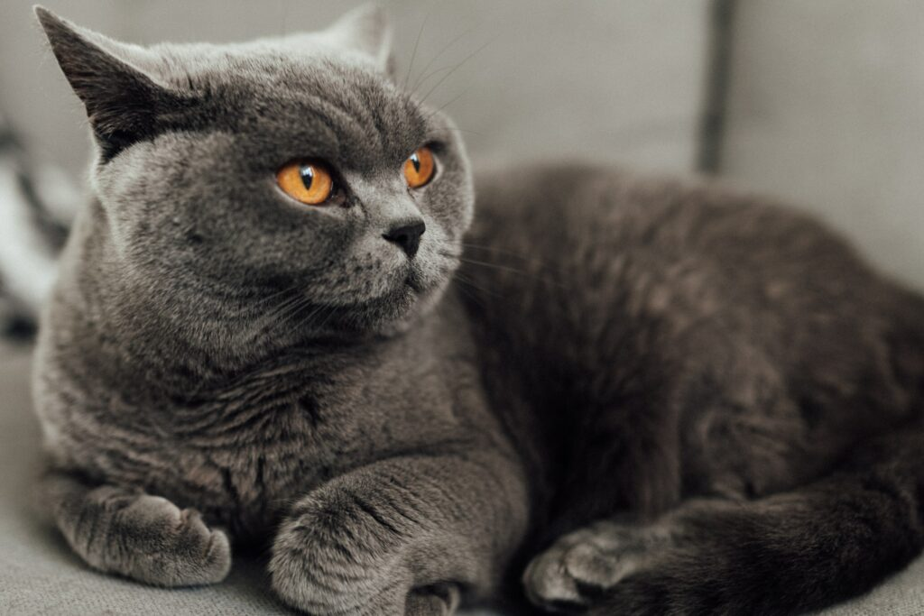 british shorthair cat beautiful 1