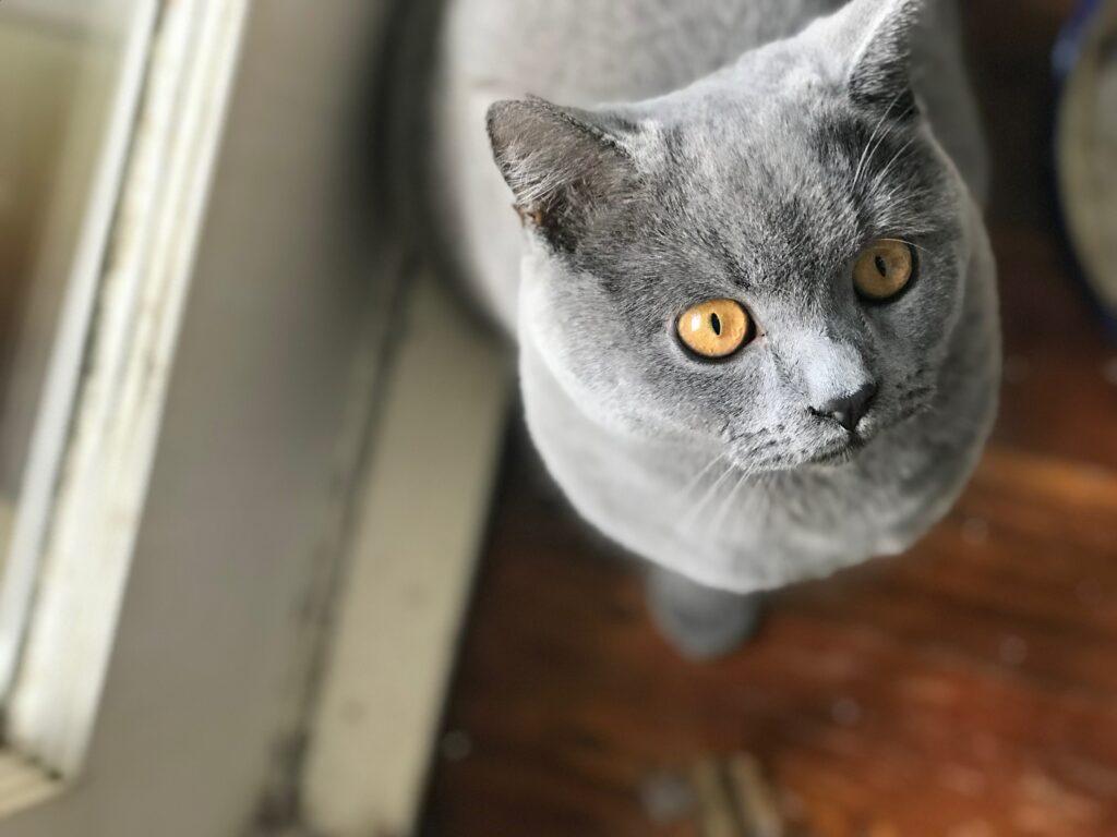british shorthair cat colours 1
