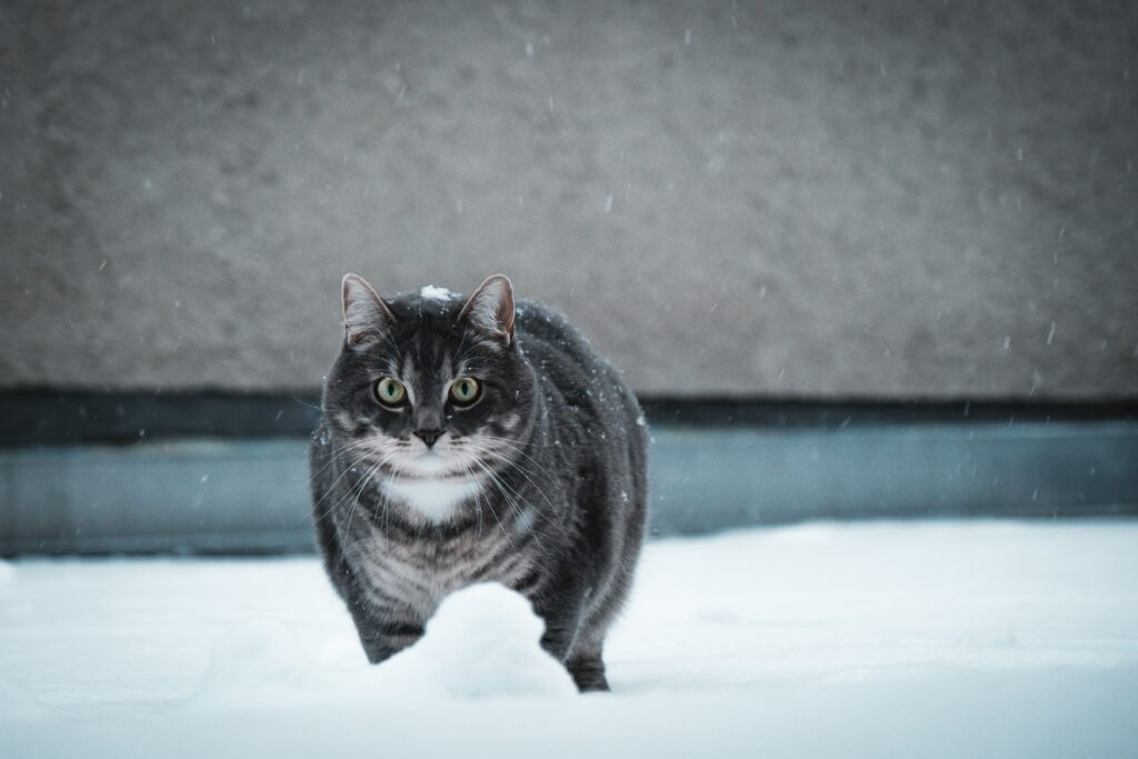 british shorthair cat cute 1
