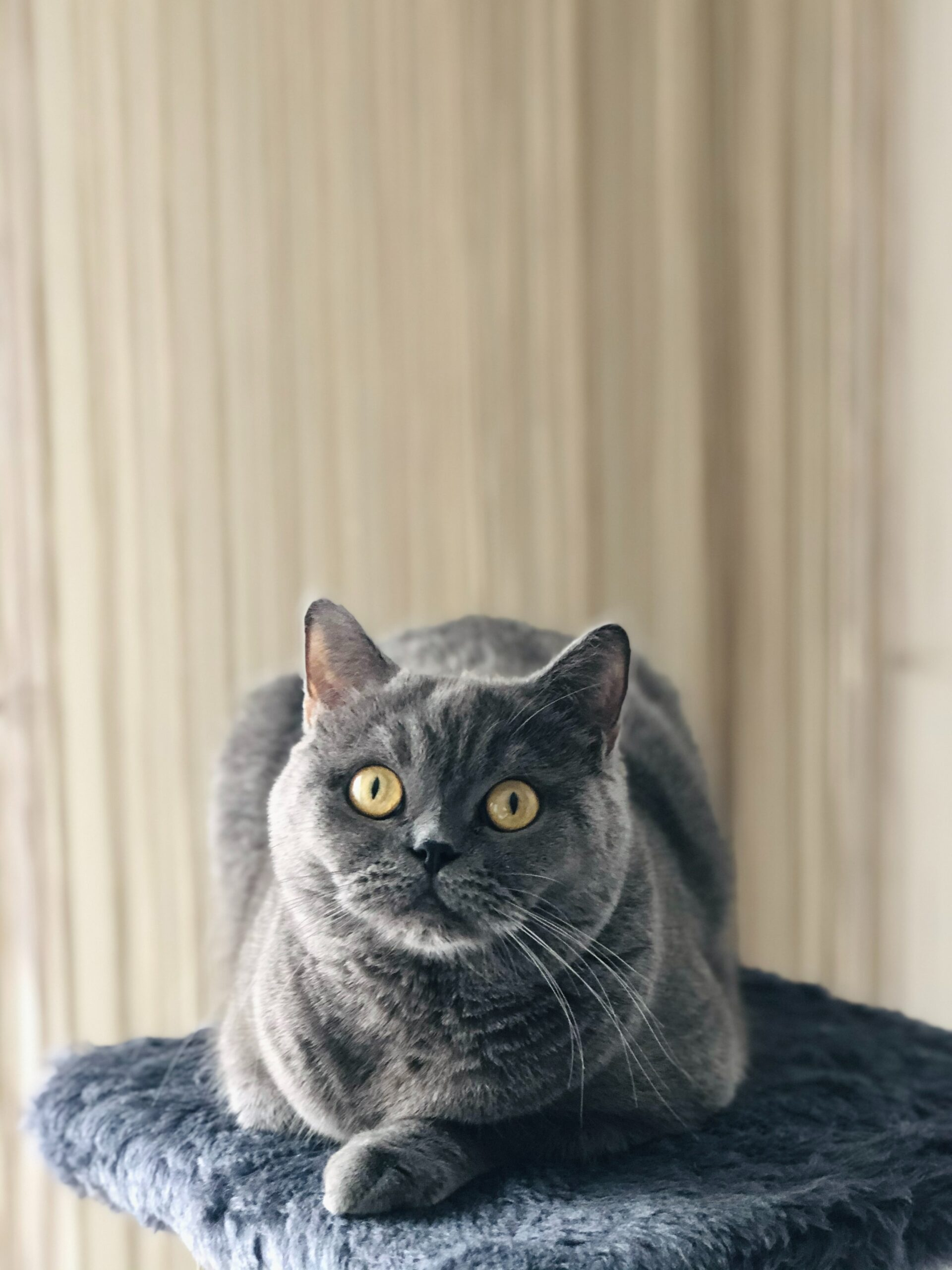 british shorthair cat friendly 1 scaled