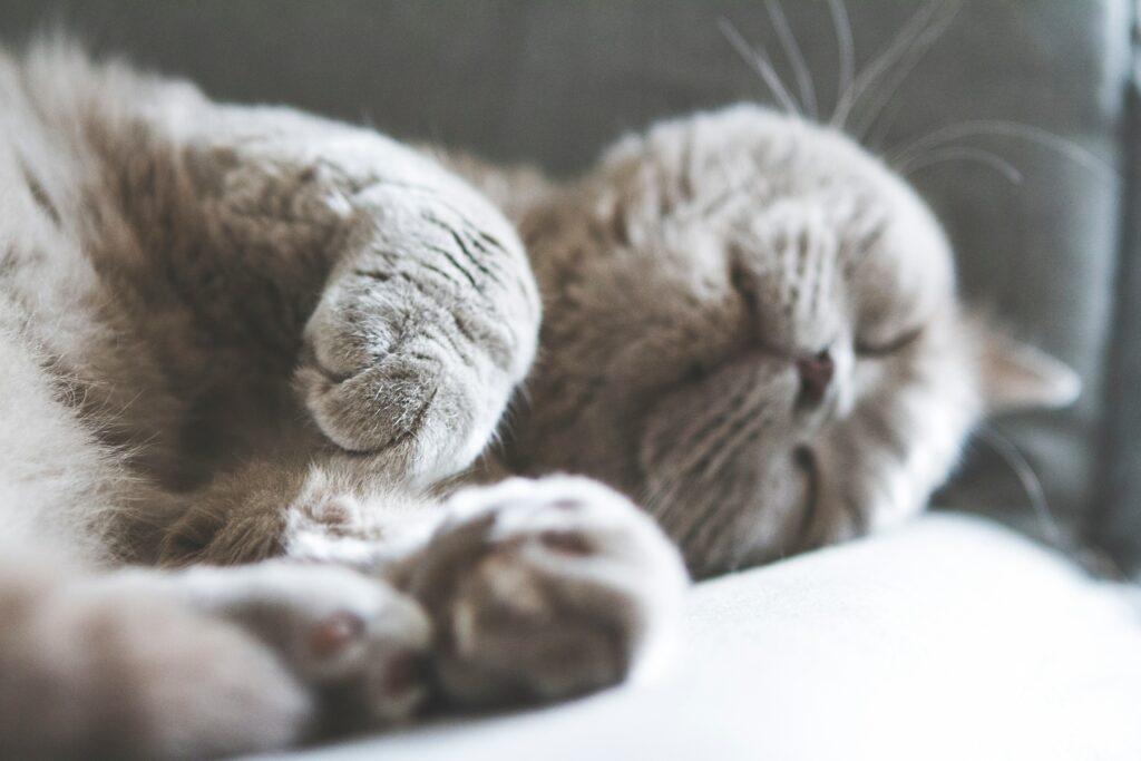 british shorthair cat personality 1