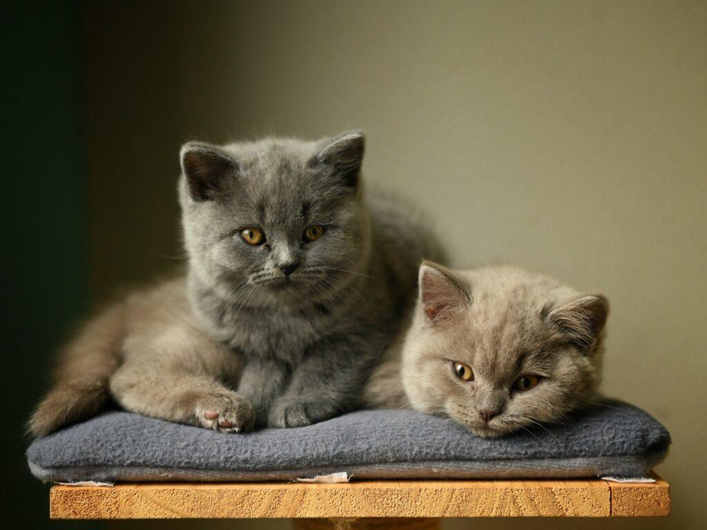 british shorthair cats characteristics 1