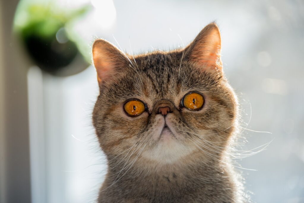 cute persion cat personality