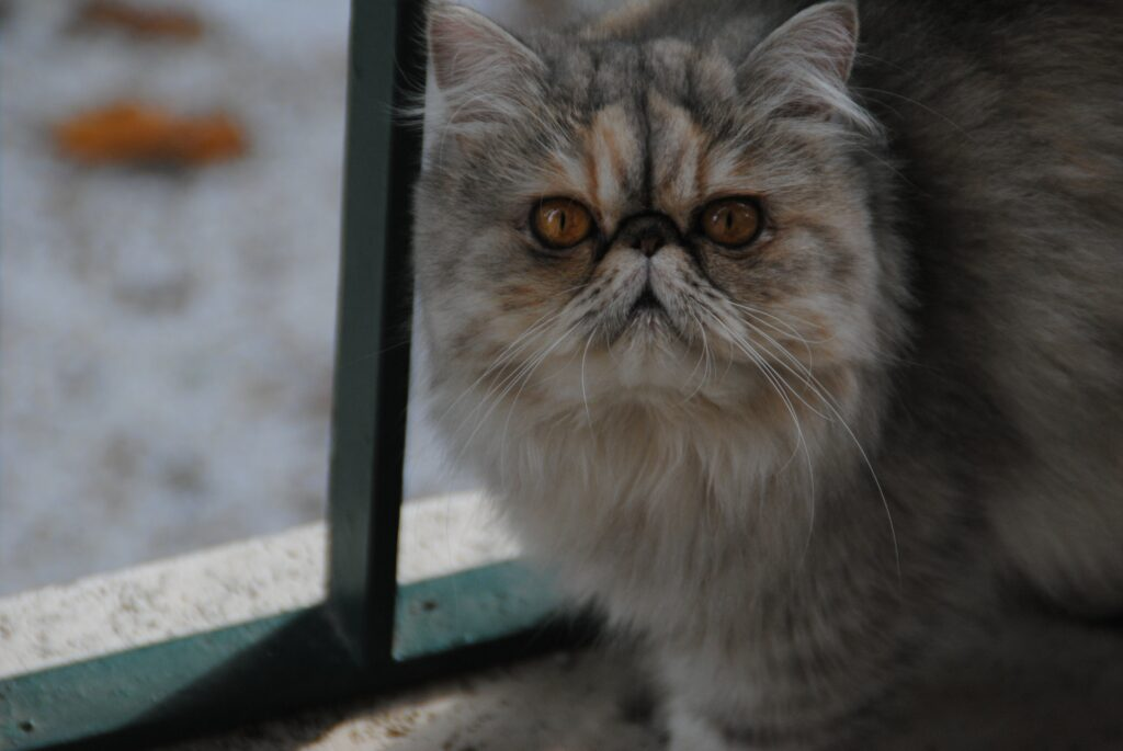 persion cat age
