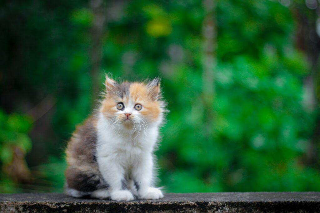 persion cat intelligent