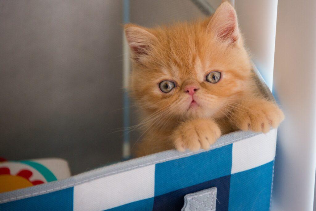 persion cat kitten